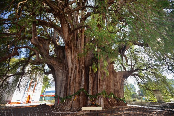 Best Things to Do, Eat & See NOW in Magical Oaxaca City, Mexico (January 2021 / Árbol del Tule - Tree of Tule / TravelingLamas.com / Photo by @travelinglamas