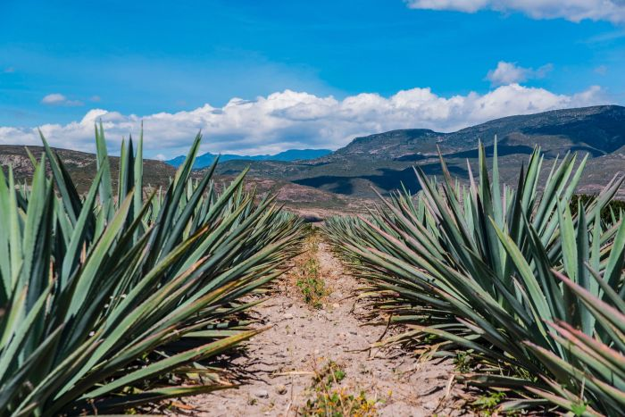 Best Things to Do, Eat & See NOW in Magical Oaxaca City, Mexico (January 2021 / Santiago Matatlán Mezcal Country / TravelingLamas.com / Photo by @travelinglamas